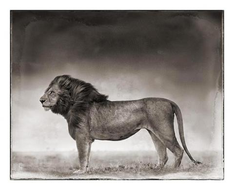 Nick Brandt's Portrait of a Lion Standing
